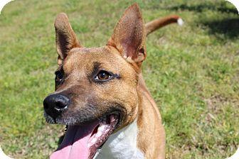 Basenji Mix Puppy for adoption in Waterbury, Connecticut - Dutchess