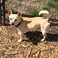 Chihuahua Mix Dog for adoption in Va Beach, Virginia - Lucas