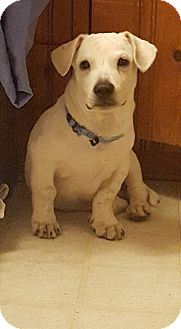 Labrador Retriever/Corgi Mix Puppy for adoption in Bergen County, New Jersey - Bailey