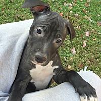 Adopt A Pet :: Maverick - Cincinnati, OH