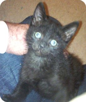 Domestic Shorthair Kitten for adoption in North Highlands, California - Wagner