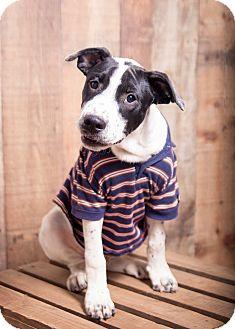 Shepherd (Unknown Type)/Terrier (Unknown Type, Medium) Mix Puppy for adoption in Harrisburg, Pennsylvania - Nathan