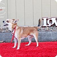 Adopt A Pet :: Scooter - Shawnee Mission, KS