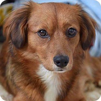 Cocker Spaniel/Dachshund Mix Dog for adoption in CUMMING, Georgia - Willow