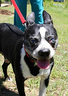 Boston Terrier Mix Dog for adoption in Various Cities in the entire Southeast, Tennessee - Odis McGee  GA