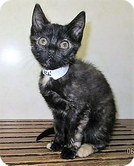 Domestic Shorthair Kitten for adoption in Downers Grove, Illinois - ADOPTED!!!   Rayna