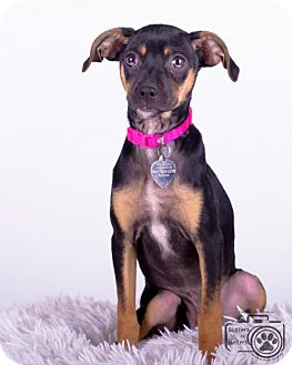 Miniature Pinscher Mix Puppy for adoption in Colorado Springs, Colorado - Rose