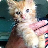 Adopt A Pet :: Cooper - LONG HAIR 8 weeks old - New Smyrna Beach, FL