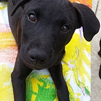 Labrador Retriever Mix Puppy for adoption in Austin, Texas - Puppy Scout