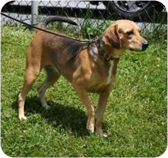 Beagle/Hound (Unknown Type) Mix Dog for adoption in Waldorf, Maryland - Cindy