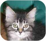 Domestic Mediumhair Kitten for adoption in Lombard, Illinois - Valaam