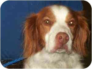Brittany Dog for adoption in Buffalo, New York - Riley - Niagara County SPCA