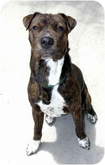 Pit Bull Terrier Mix Puppy for adoption in Phoenix, Oregon - Gus