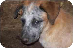 Australian Cattle Dog/Blue Heeler Mix Dog for adoption in Scio, Ohio - Bandit - Aussie/Heeler Mix Pup