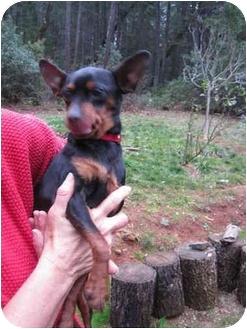 Miniature Pinscher Dog for adoption in Grants Pass, Oregon - Mia