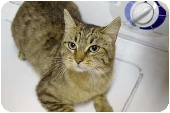 Domestic Shorthair Cat for adoption in Ladysmith, Wisconsin - Scout