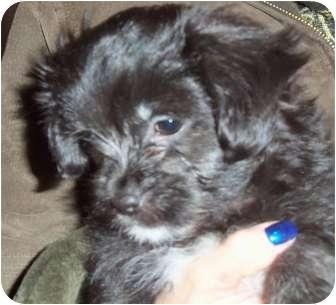 Shih Tzu Puppy for adoption in Kokomo, Indiana - Inky