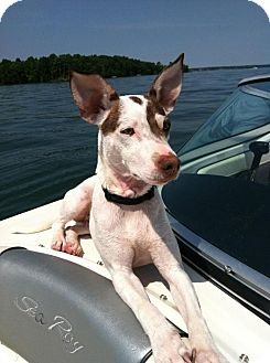Jack Russell Terrier/Fox Terrier (Smooth) Mix Dog for adoption in Lincolnton, North Carolina - Spud