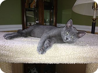 Russian Blue Cat for adoption in Port Republic, Maryland - Stewart