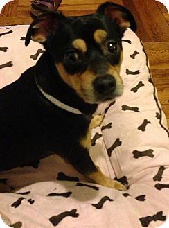Chihuahua/Miniature Pinscher Mix Dog for adoption in Long Beach, New York - Leo