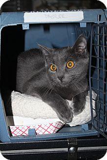 Domestic Shorthair Cat for adoption in North Branford, Connecticut - Waylon