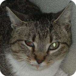 American Shorthair Cat for adoption in Des Moines, Iowa - Margo