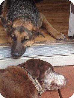 German Shepherd Dog Dog for adoption in Roswell, Georgia - Stella (Guest)