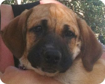 Hound (Unknown Type)/Great Pyrenees Mix Puppy for adoption in Austin, Texas - Lilly