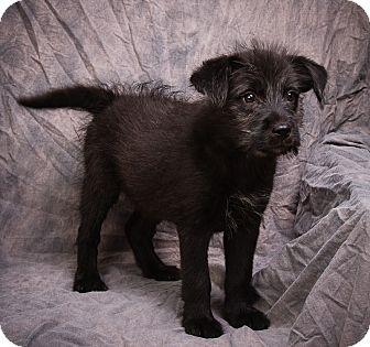 Terrier (Unknown Type, Medium)/Border Collie Mix Puppy for adoption in Anna, Illinois - GILLIAN