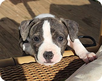 Pit Bull Terrier Mix Puppy for adoption in Reisterstown, Maryland - MORE PUPPIES!