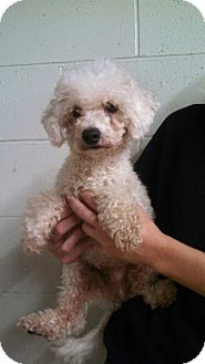 Poodle (Miniature)/Poodle (Miniature) Mix Dog for adoption in Oviedo, Florida - Tucker