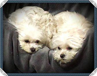 Maltese Dog for adoption in Terra Ceia, Florida - GIZMO and LISSETTE