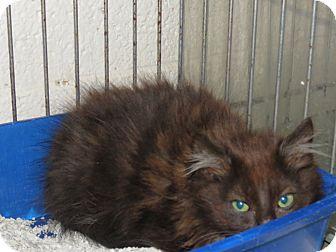 Domestic Longhair Kitten for adoption in Henderson, North Carolina - Foxy