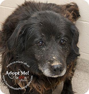 Australian Shepherd/Border Collie Mix Dog for adoption in Troy, Ohio - Shirley