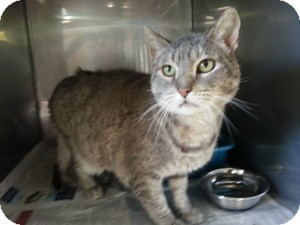 Domestic Shorthair Cat for adoption in Edgewood, New Mexico - Rocky