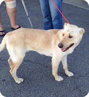 Labrador Retriever/Shepherd (Unknown Type) Mix Dog for adoption in North Bend, Washington - Emmy