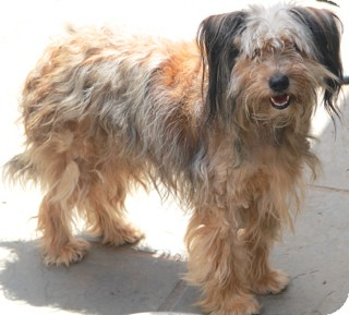 Lhasa Apso/Terrier (Unknown Type, Small) Mix Dog for adoption in Norwalk, Connecticut - Mimi