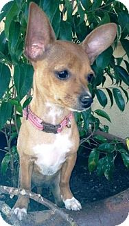 Chihuahua Mix Puppy for adoption in Gilbert, Arizona - Lacey
