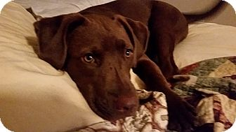 Labrador Retriever Mix Puppy for adoption in Syracuse, New York - Charlie (i'm a girl!!)