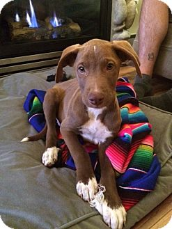 Labrador Retriever/Weimaraner Mix Puppy for adoption in Vancouver, British Columbia - Larry