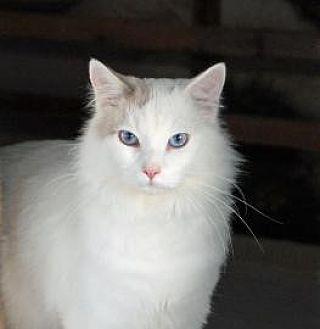 Oriental Cat for adoption in Alamogordo, New Mexico - FROSTHEART
