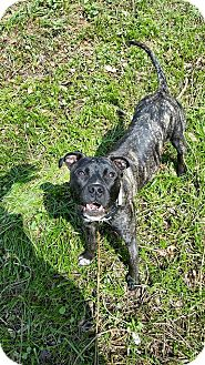 American Staffordshire Terrier/Whippet Mix Dog for adoption in Oxford, Connecticut - Lilly