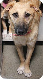 Labrador Retriever/German Shepherd Dog Mix Puppy for adoption in Boca Raton, Florida - George