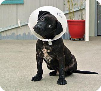 Pit Bull Terrier/Labrador Retriever Mix Puppy for adoption in Camano Island, Washington - Picasso