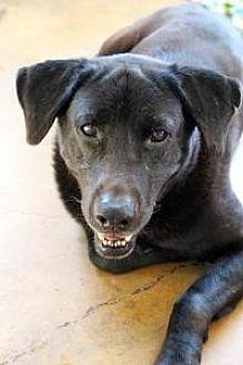 Labrador Retriever Dog for adoption in Memphis, Tennessee - Rexx