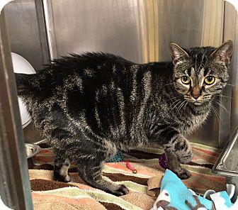 Domestic Shorthair Cat for adoption in Battle Creek, Michigan - Bella Squeaks