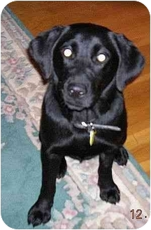 Labrador Retriever Mix Puppy for adoption in Athens, Georgia - Georgia