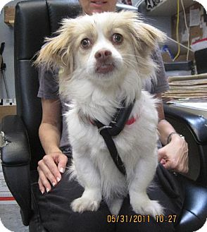 Tibetan Spaniel Mix Puppy for adoption in Rockville, Maryland - Libby