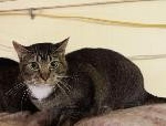 Domestic Shorthair Cat for adoption in Pt. Richmond, California - REAGAN