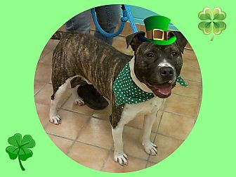 Pit Bull Terrier Mix Dog for adoption in Indianapolis, Indiana - Fin
